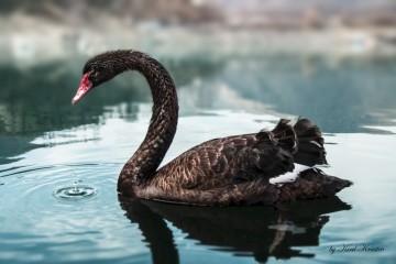 amadeus_black_swan